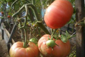 Характеристика томата сорта Бармалей и описание плодов