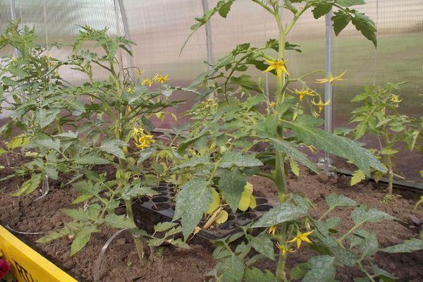 Выращивание помидоров