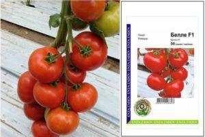 Характеристика голландского раннеспелого томата Белле F1 и особенности выращивания сорта