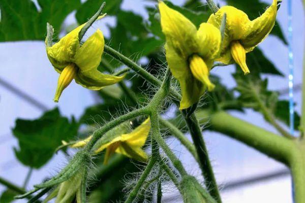 Цветки помидора