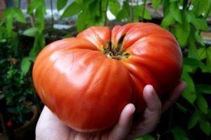 Характеристика и описание сорта томата Бердский крупный, выращивание и уход