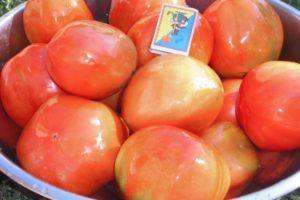 Сорт томата Бизнес леди и размножение растения рассадным способом