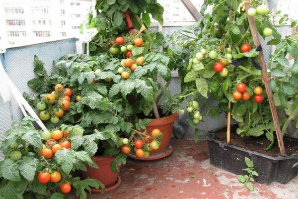 Горшки с помидорами