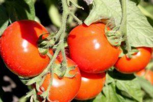 Характеристика ультрараннего гибридного томата Булат и агротехника выращивания сорта
