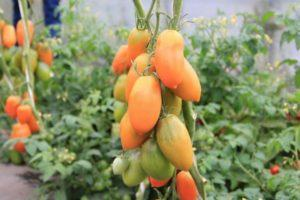Общая характеристика гибридного томата Чухлома и агротехника выращивания
