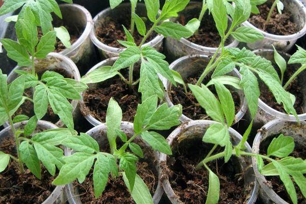 Стаканы с рассадой