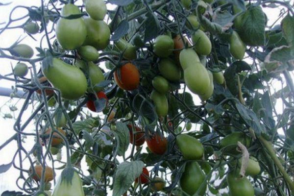 Куст с помидорами