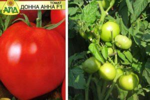 Характеристика и свойства томатов Донна Анна, рекомендации по выращиванию сорта