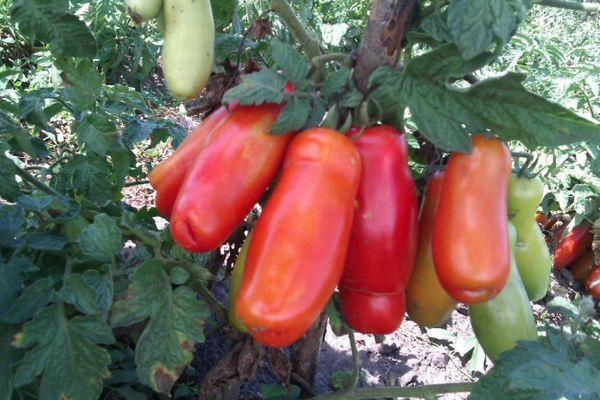 Длинноплодный томат