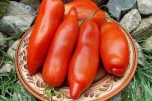 Описание селекционного томата Дядя Степа и агротехника выращивания сорта