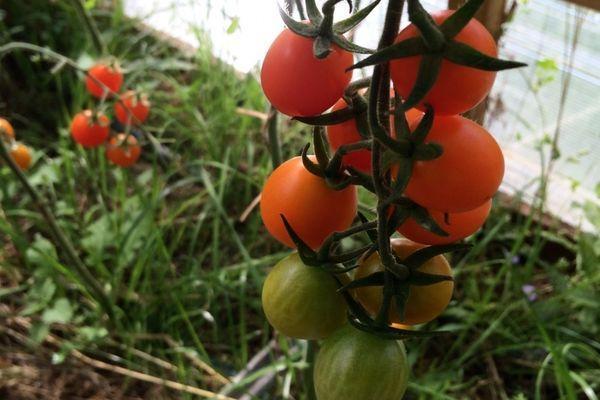 Финиковые помидоры