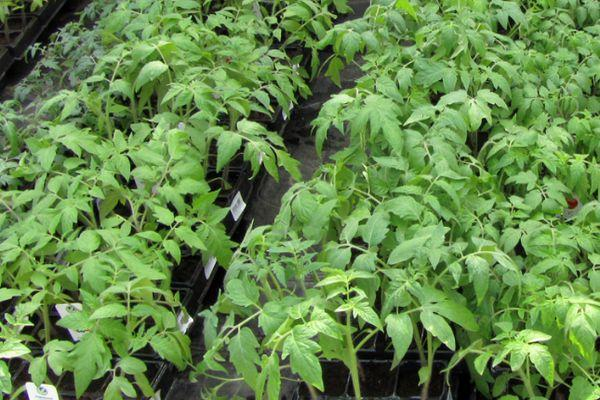 Горшки с рассадой