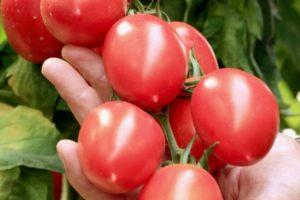 Технические характеристики томата Гроздевой f1 и особенности выращивания гибрида