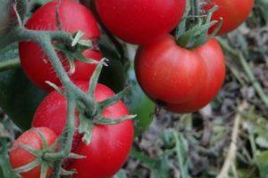 Описание сибирского раннеспелого томата Грунтовый грибовский и правила выращивания сорта
