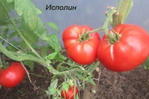 Описание томата сорта Исполин (черный и малиновый), особенности плодов