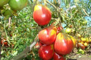 Описание высокоурожайного томата Иван Купала, посадка и уход
