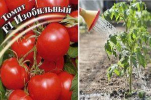 Описание гибридного сорта томата Изобильный f1 и выращивание в открытом грунте