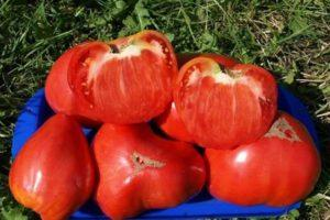 Описание северного гибридного томата Канары, выращивание и уход за растением