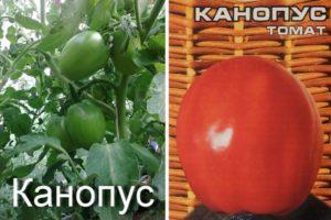 Описание томата Канопус и выращивание сорта рассадным способом