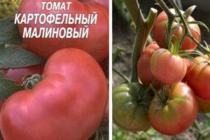 Описание томата Картофельный малиновый и агротехника выращивания
