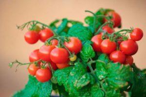 Описание декоративного томата Клюква в сахаре и агротехника выращивания