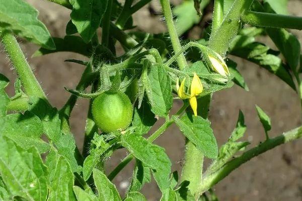 Молодой томат