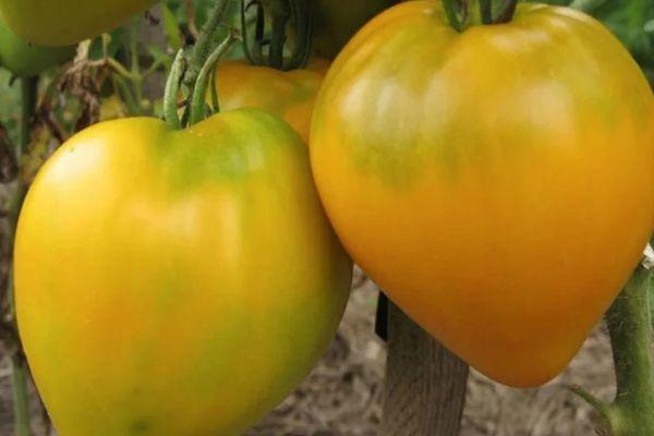 Сердцевидные помидоры