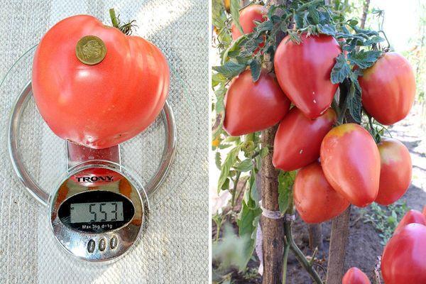 Вес томата