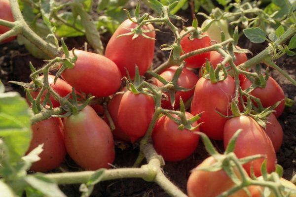 Ветки помидора