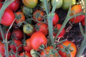 Описание томата Маруся и выращивание сорта рассадным способом