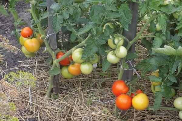 Кусты помидора