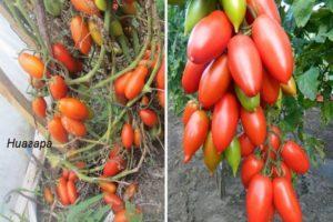 Описание сорта томата Ниагара и особенности плодов индетерминантного типа