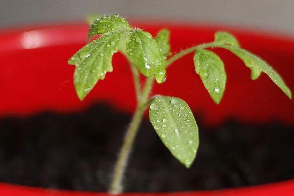 Росток помидора