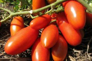 Описание гибридного томата Победитель, выращивание и дальнейший уход