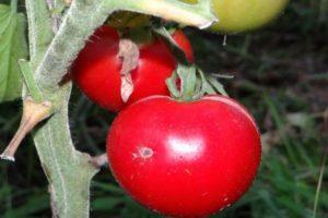 Характеристика томата Подснежник и культивирование сорта