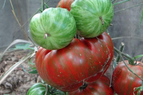 Полосатые помидоры