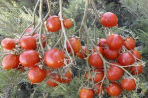 Описание томата Поцелуй герани и рекомендации по выращиванию рассады