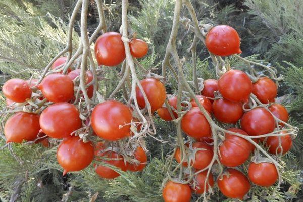 Плоды помидор