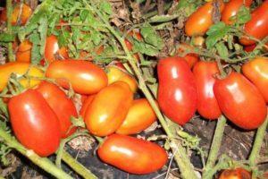 Описание среднеспелого томата Рокер и правила выращивания сорта рассадным методом