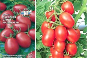 Характеристика томата Сахарная слива малиновая и выращивание сорта