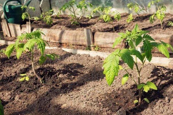 Саженцы помидора