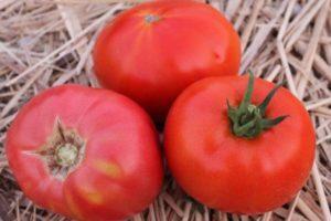 Описание штамбового томата Титан и агротехника культивирования растения