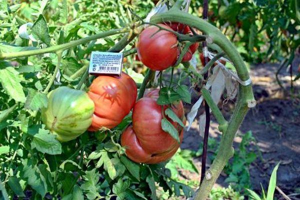 Кусты помидоров
