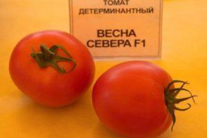 Описание раннеспелого томата Весна Севера F1 и правила выращивания рассадным методом