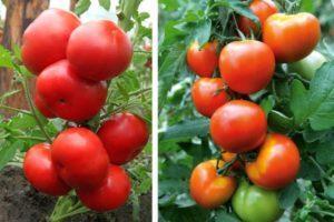 Описание и характеристика помидор Воевода F1, советы по выращиванию и уходу