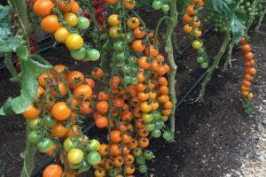 Описание томата Волшебная арфа f1 и выращивание гибрида в открытом грунте