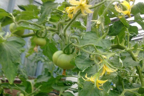 Низкорослый томат