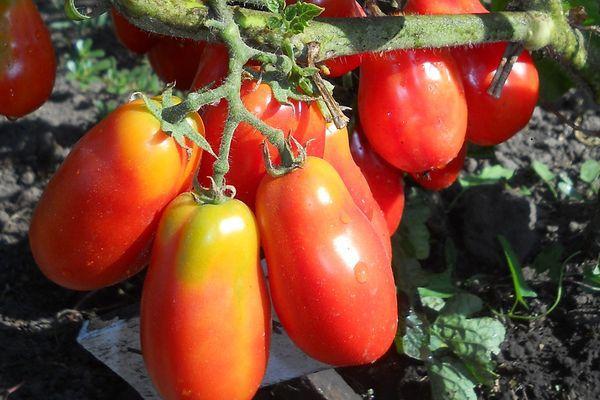 Длинные помидоры