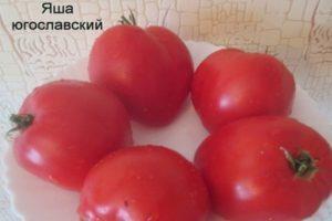 Характеристика и свойства томата Яша Югославский, выращивание в тепличных условиях