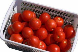 Описание томата Жаворонок f1 и особенности выращивания сорта